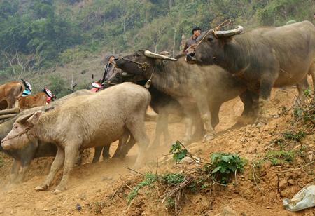 """Chợ trâu """"Cán Cấu"""" thuộc huyện Si Ma Cai, tỉnh Lào Cai họp vào thứ bảy hàng tuần. Không chỉ thu hút những người mua bán, trao đổi trâu, bò, ngựa,… chợ Cán Cấu còn là một địa điểm du lịch hấp dẫn khách du lịch của tỉnh Lào Cai."""