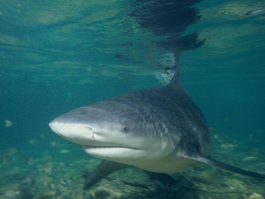 Một con cá mập bò. Ảnh: Wikipedia