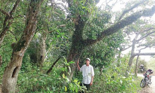 Một góc rừng lộc vừng của thôn Siêu Quần. Ảnh: An Sơn