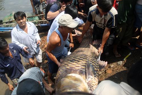 Cá hô gần 130 kg bán giá khoảng 200 triệu từng được bắt ở Sài Gòn