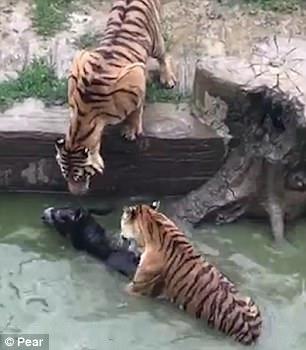 Du khách sốc cảnh cọp xé xác lừa trong sở thú Trung Quốc - Ảnh 3.