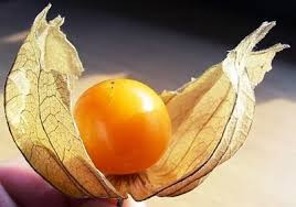 Tầm bóp: Ở Việt Nam là quả dại, ở Nhật bán 700.000 đồng/kg - Ảnh 3.