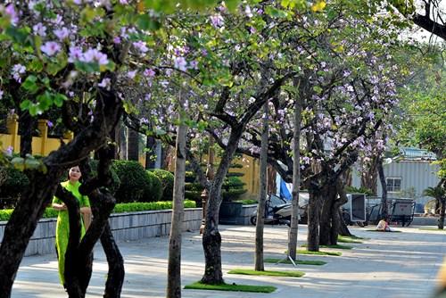 Nụ hoa ban bừng tỉnh sau một mùa đông dài, khi những vạt nắng đầu tiên xiên qua kẽ lá. Chẳng mấy chốc, dải màu tím miền Tây Bắc đã căng tràn trời Hà Nội