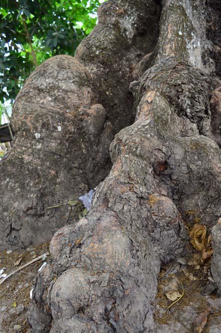 Những cổ cây có 1 không 2 ở Sóc Trăng - Ảnh 5.