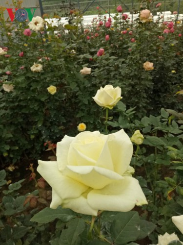 Ngắm ngàn hoa đua sắc tại làng hoa nổi tiếng ở Đà Lạt - Ảnh 5.
