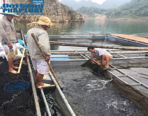 Thu chục tỷ mỗi năm nhờ nuôi cá tại lòng hồ thủy điện - Ảnh 5.