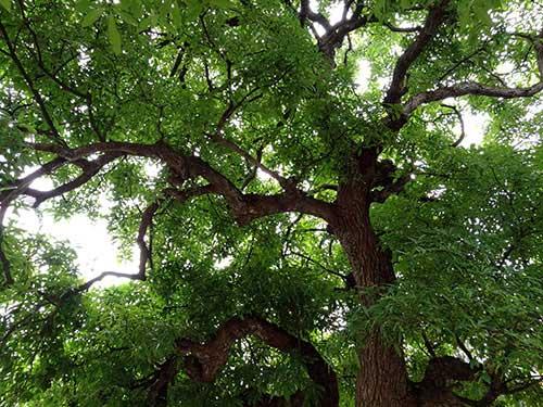 Bí mật về 4 cụ cây 700 tuổi ở Đồng Tâm - Ảnh 2.