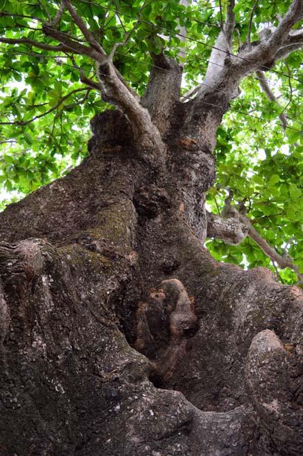 Những cổ cây có 1 không 2 ở Sóc Trăng - Ảnh 6.