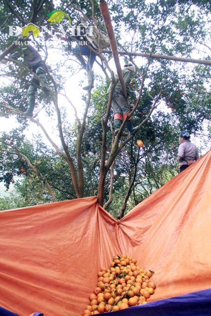 Đưa giỏ lên cây hái đưa xuống rất khó và nguy hiểm, nhiều người đã nghĩ ra cách căng bạt, rồi trẩy cam vứt xuống. Cách này nhanh, an toàn, nhưng cam sẽ không được ngon.