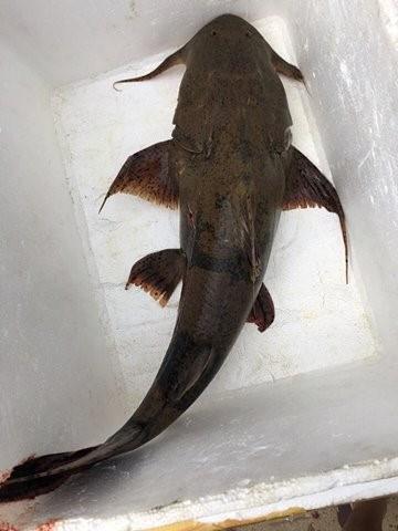 Những loài cá tiến vua đắt đỏ nhưng vẫn được săn lùng - Ảnh 7.