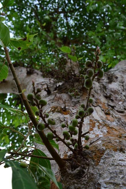Những cổ cây có 1 không 2 ở Sóc Trăng - Ảnh 8.