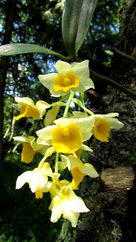 Chiêm ngưỡng hoa phong lan rừng Sa Pa - Ảnh 8.