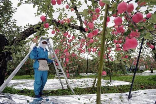 Đột nhập vườn táo Aomori Nhật Bản đã có bán ở Việt Nam - Ảnh 8.