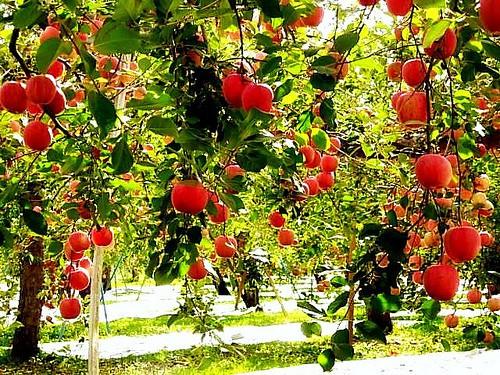 Đột nhập vườn táo Aomori Nhật Bản đã có bán ở Việt Nam - Ảnh 9.