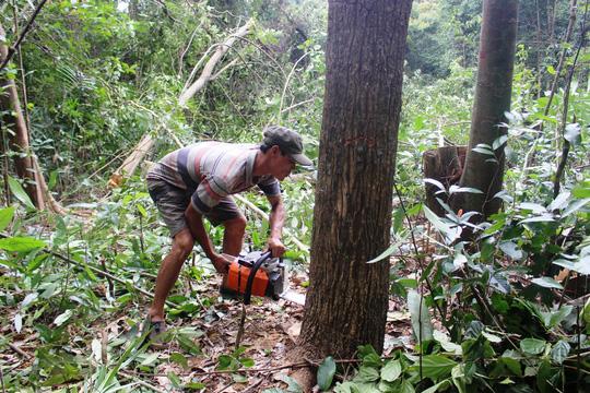 Nhiều cây rừng lớn đang bị đốn hạ - Ảnh: Kỳ Đức