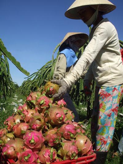 Thanh long Bình Thuận đang được xuất khẩu sang nhiều nước