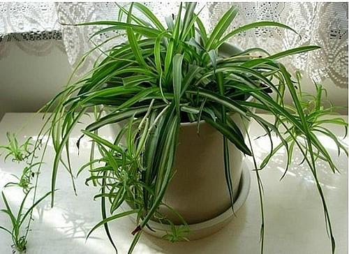 10 loại cây trồng trong nhà xua tan nỗ lo ô nhiễm không khí - Ảnh 7.