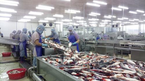Cá tra nguyên liệu và cá giống khan hiếm - Ảnh 1.