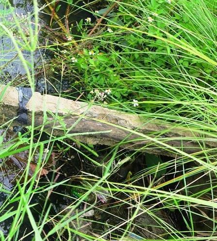 Con bò làm lộ bê tông cốt... gỗ trên công trình thủy lợi - Ảnh 1.