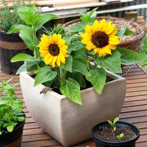 Thời gian trồng hoa để nở đúng vào dịp Tết - Ảnh 1.