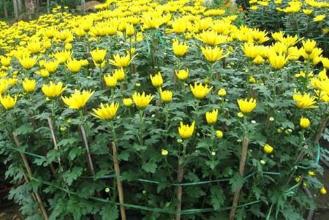 Thời gian trồng hoa để nở đúng vào dịp Tết - Ảnh 2.