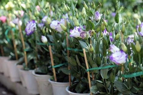 Thời gian trồng hoa để nở đúng vào dịp Tết - Ảnh 4.
