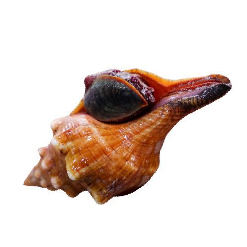 Điều đặc biệt ở ốc đỏ, nổi tiếng vùng biển phía Nam - Ảnh 7.