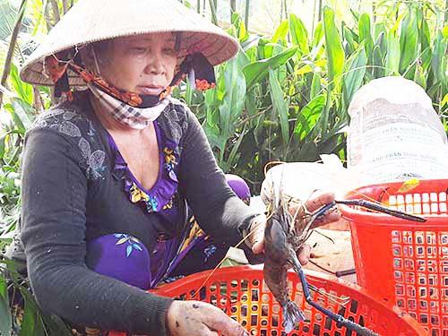 Thu hoạch cá ở Đa Phước - Ảnh 3.