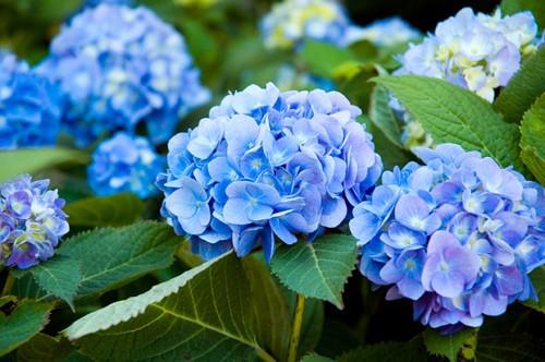 Những loại hoa chơi Tết siêu đẹp, siêu độc tính cần cảnh giác - Ảnh 5.