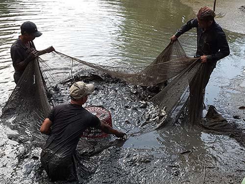 Thu hoạch cá ở Đa Phước - Ảnh 1.