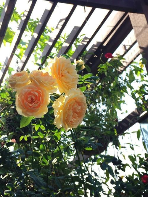 Ngắm ban công nhỏ xinh đầy hoa hồng của bà mẹ Hà Nội - Ảnh 5.