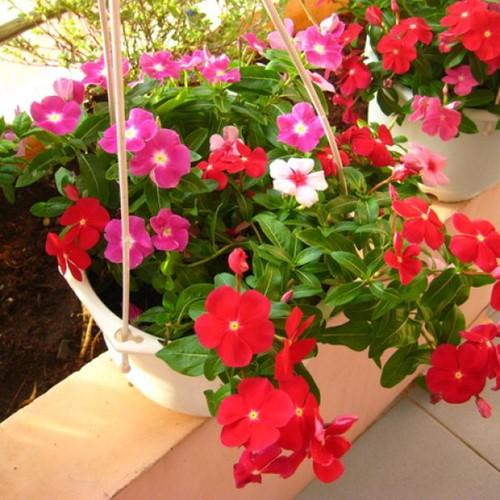 8 loài hoa đẹp bình dị, dễ trồng cho sân vườn nhà phố - Ảnh 1.