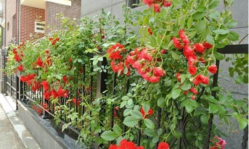 8 loài hoa đẹp bình dị, dễ trồng cho sân vườn nhà phố - Ảnh 3.