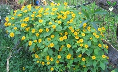 8 loài hoa đẹp bình dị, dễ trồng cho sân vườn nhà phố - Ảnh 4.