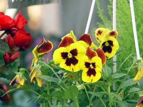8 loài hoa đẹp bình dị, dễ trồng cho sân vườn nhà phố - Ảnh 5.