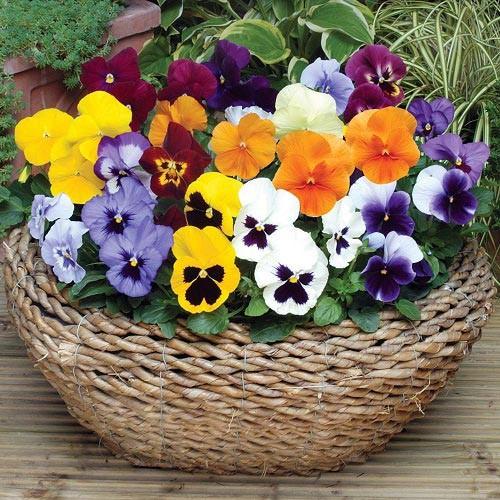 8 loài hoa đẹp bình dị, dễ trồng cho sân vườn nhà phố - Ảnh 6.