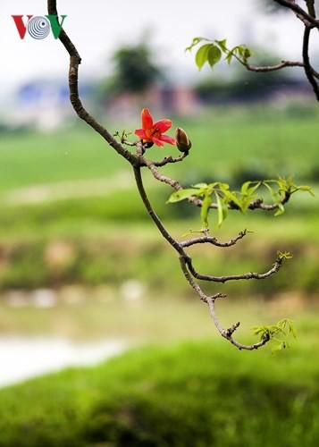 Đẹp nao lòng mùa hoa gạo tháng Ba - Ảnh 5.