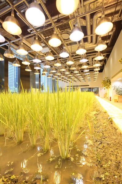 Ruộng lúa chín vàng óng trong văn phòng công ty Nhật - Ảnh 2.