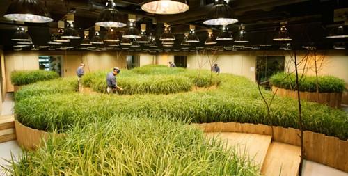 Ruộng lúa chín vàng óng trong văn phòng công ty Nhật - Ảnh 4.