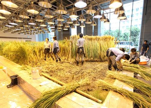 Ruộng lúa chín vàng óng trong văn phòng công ty Nhật - Ảnh 6.