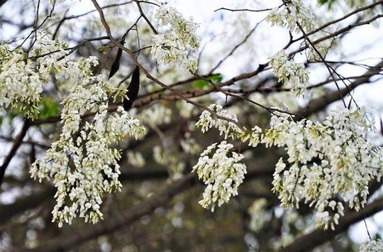 """""""Điểm danh"""" những mùa hoa tháng 3 đẹp mê hồn - Ảnh 11."""