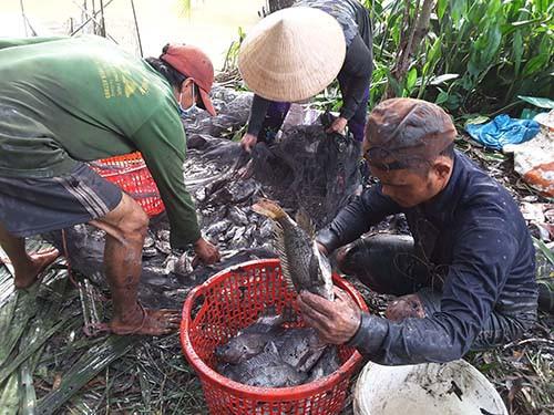 Thu hoạch cá ở Đa Phước - Ảnh 2.
