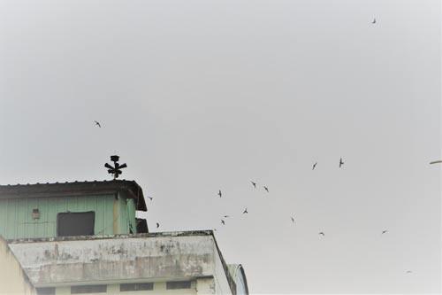 Nuôi yến tự phát, coi chừng trắng tay: Xóa sổ chim yến khỏi nội đô - Ảnh 1.