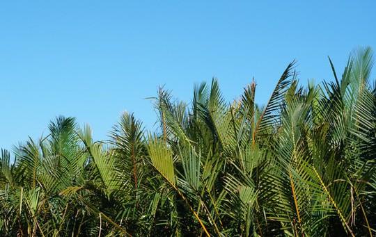Khu rừng dừa như miền Tây sông nước tại Hội An - Ảnh 4.