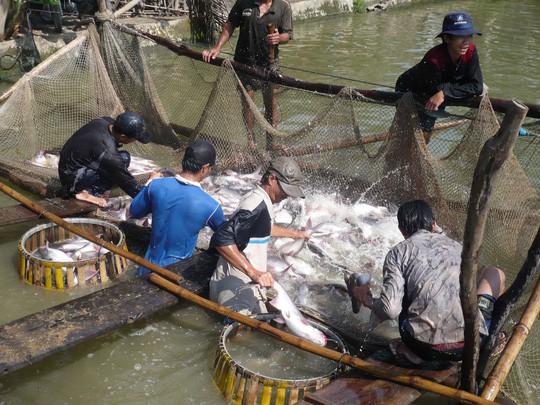 Trung Quốc là tâm điểm xuất khẩu của cá tra Việt Nam - Ảnh 1.