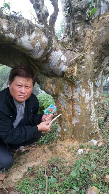 Căng thẳng tập đoàn mối tân công rừng chè cổ thụ Suối Giàng - Ảnh 3.
