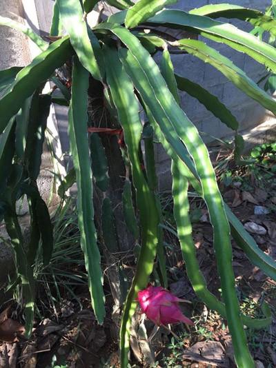 Phát thèm khu vườn sai trĩu quả của diễn viên Lê Phương - Ảnh 11.