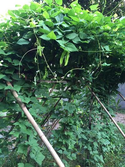 Phát thèm khu vườn sai trĩu quả của diễn viên Lê Phương - Ảnh 2.
