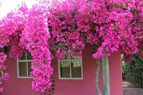 Chết lịm trước những ngôi nhà cổng hoa giấy đẹp tuyệt - Ảnh 9.