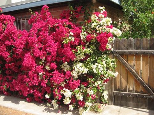 Chết lịm trước những ngôi nhà cổng hoa giấy đẹp tuyệt - Ảnh 8.